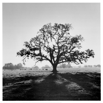 oak sunrise tree ansel adams